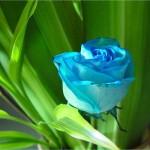 صور ورد طبيعي ازرق