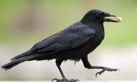 طائر الغراب