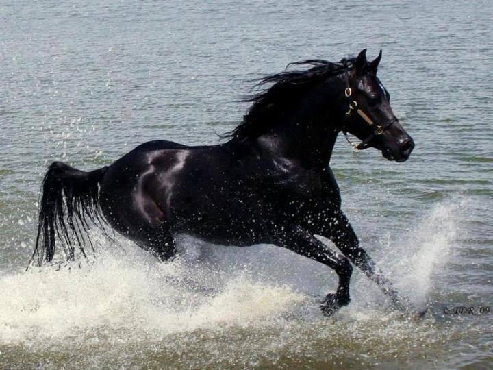 صور حصان اسود اصيل