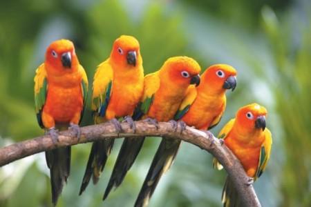 صور طيور الزينة (3)