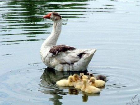 صور طيور في الماء بط ووز