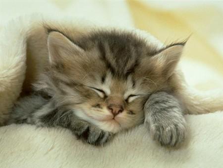 صور حيوانات قطة