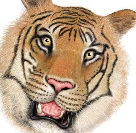 صور حيوانات نمر