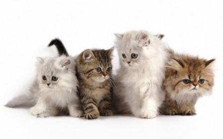 أجمل قطط في العالم (4)