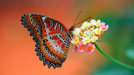 اجمل اشكال الفراشات الملونة (2)