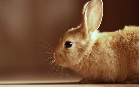 ارانب فرنسية (1)