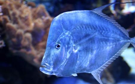 انواع اسماك الزينة الملونة (2)