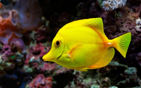 انواع اسماك الزينة الملونة (3)