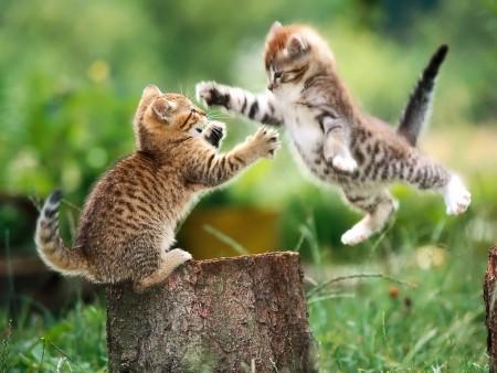 انواع قطط (5)