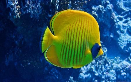 سمك زينة اصفر (2)