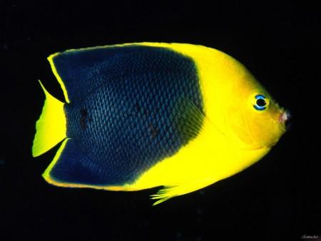 سمك زينة اصفر (3)