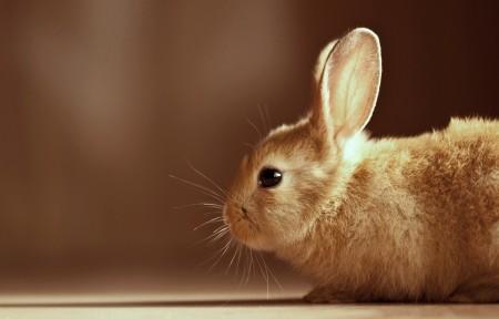 صور أرانب HD (5)