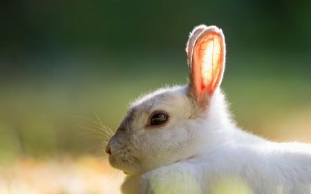 صور ارانب بيضاء (1)
