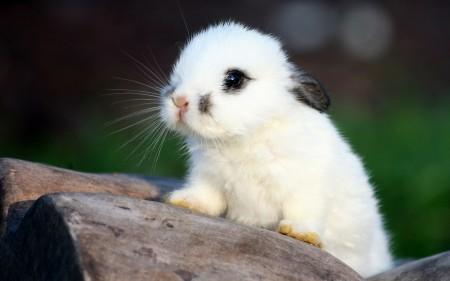 صور ارانب بيضاء (2)