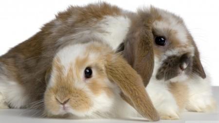 صور ارانب صغيرة (3)