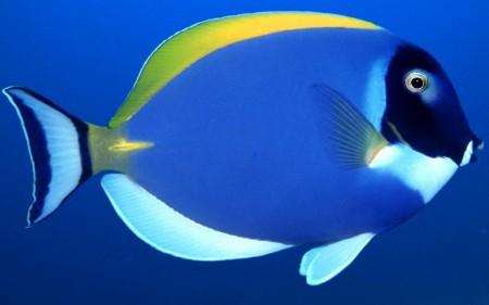صور الأسماك الزينة (4)