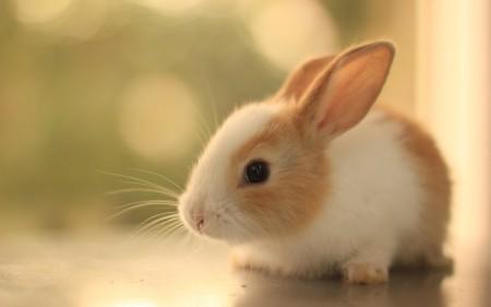صور خلفيات الأرانب (4)