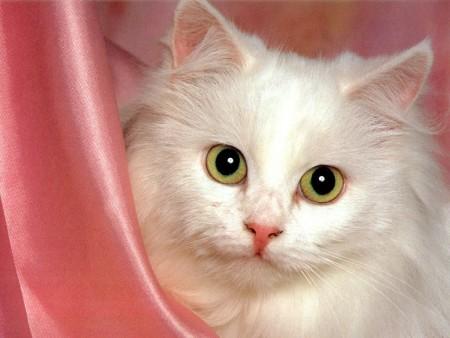 صور قطط شيرازى (2)