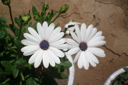 صور ورد أبيض (4)