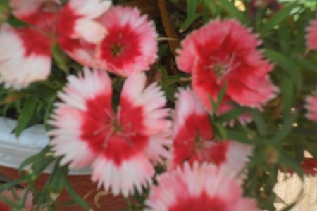صور ورد احمر (1)