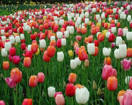 صور ورود جميلة وزهور جذابة (2)