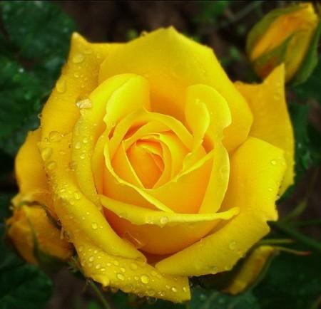 ورد اصفر (2)