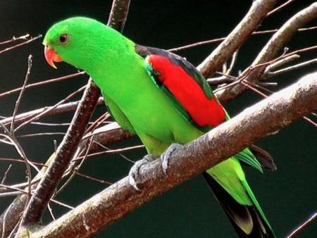 صور عصافير الزينة (2)