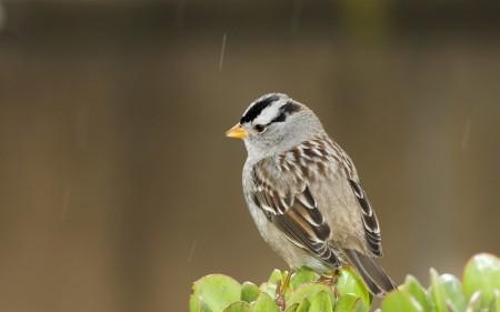 صور عصافير كناري (1)
