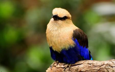عصافير استرالى (1)