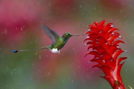 عصافير استرالى (5)