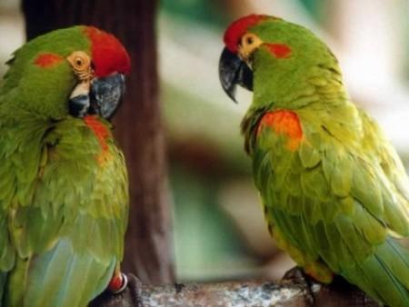 عصافير الحب بالصور (4)