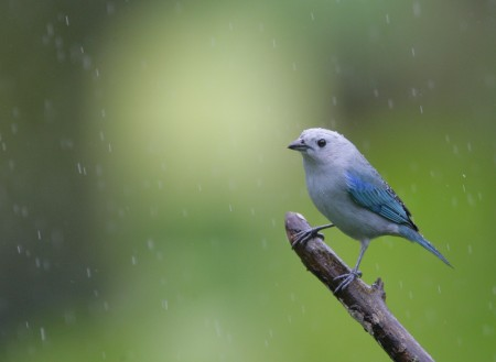 عصافير الزيبرا (2)