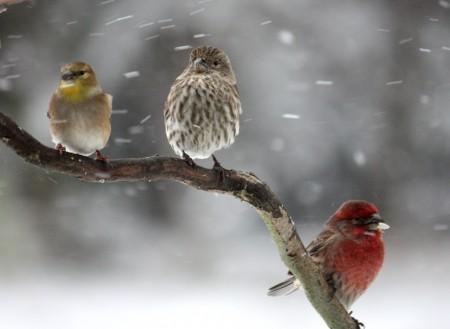 عصافير الزيبرا (4)