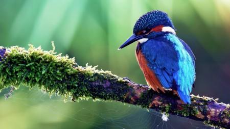 عصافير الزينة (1)