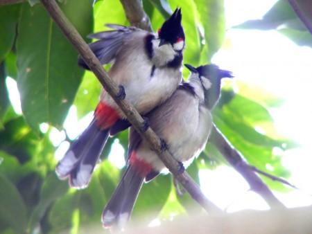 عصافير الزينة (2)