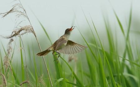 عصافير الكنارى (1)