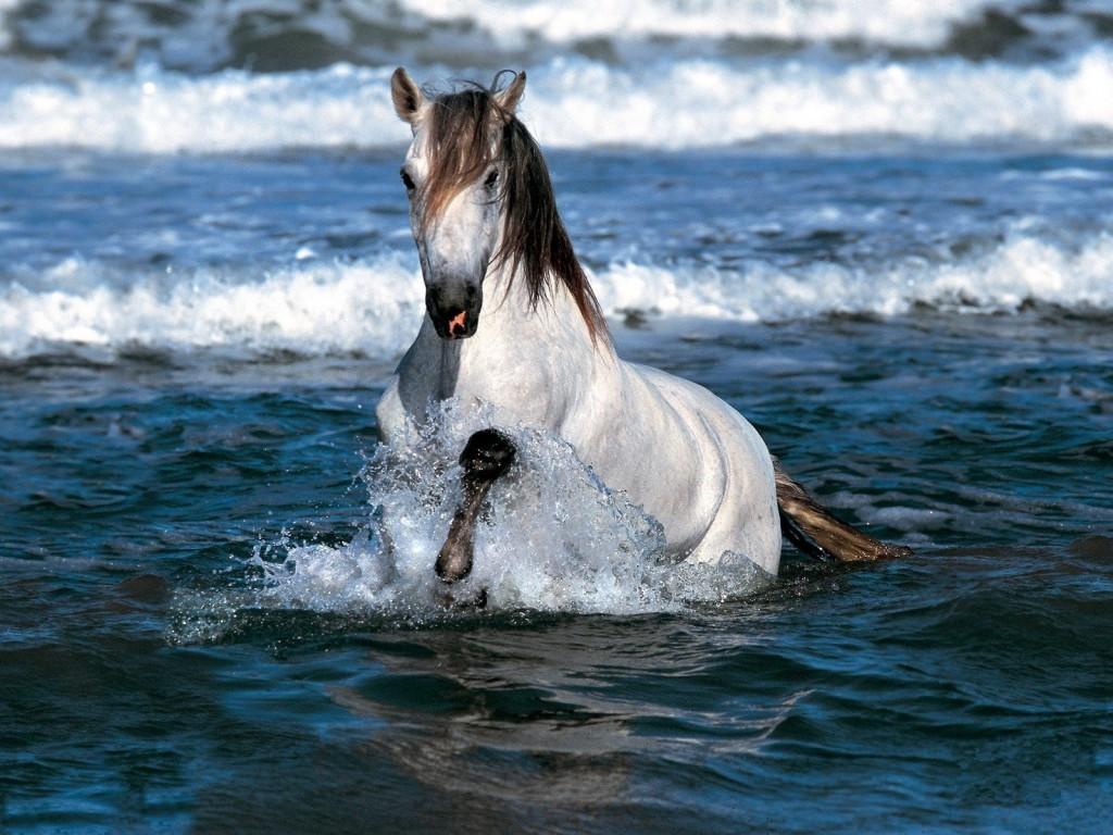 حصان عربي اصيل (1)