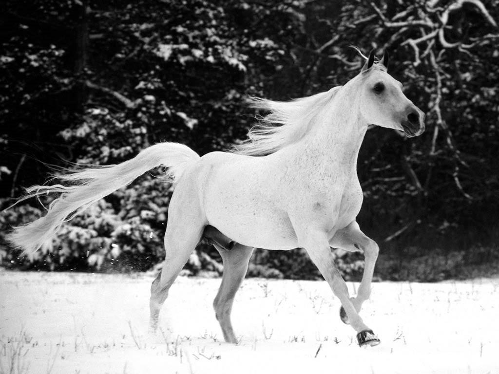 حصان عربي اصيل (2)