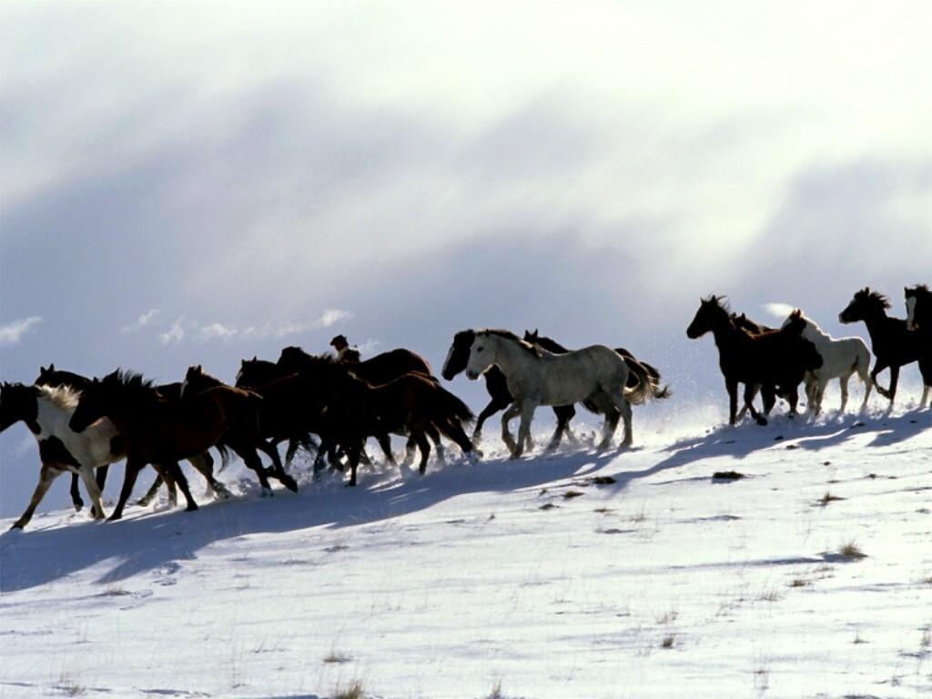 حصان عربي اصيل (3)