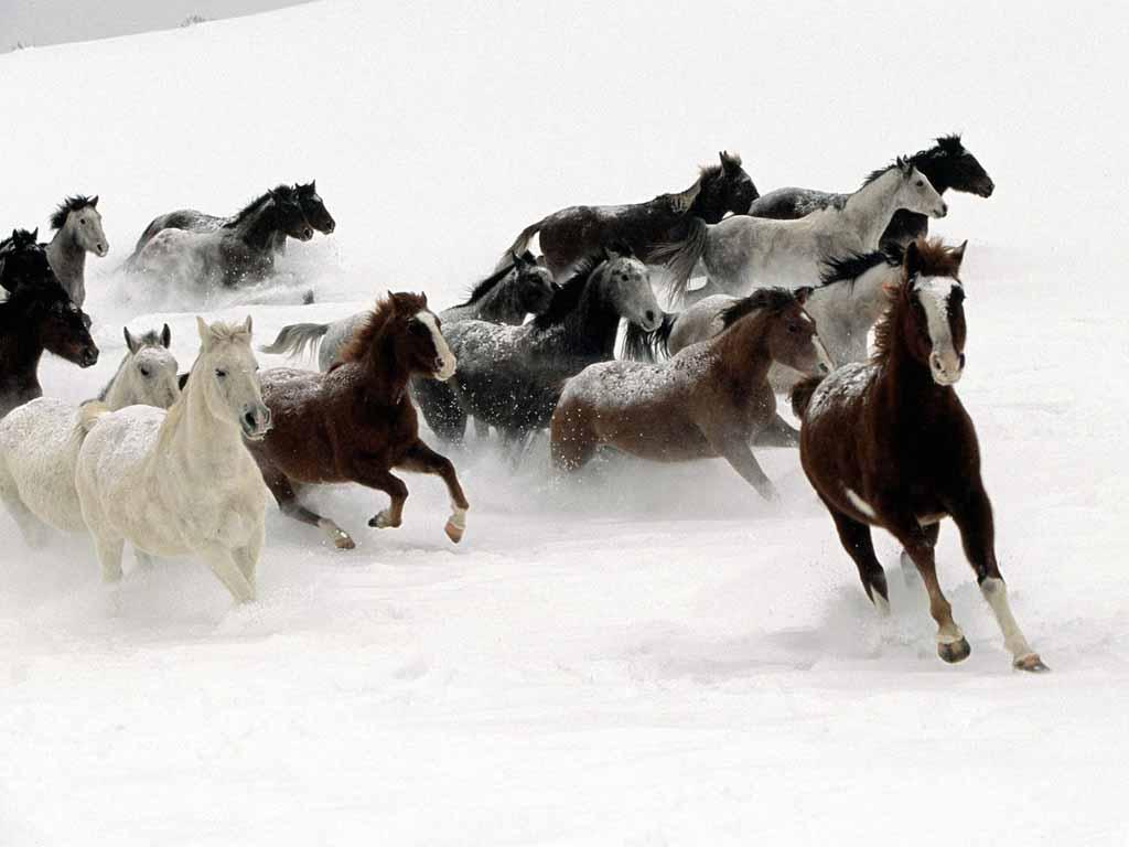 صور حصان عربي (3)