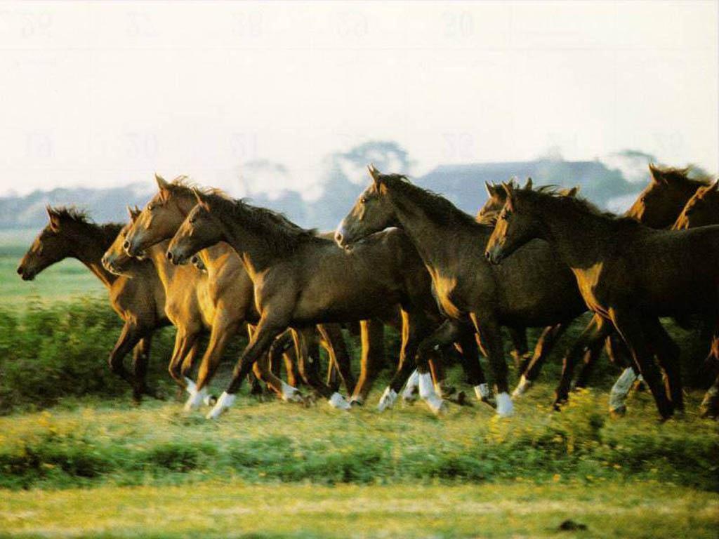 صور حصان عربي (4)