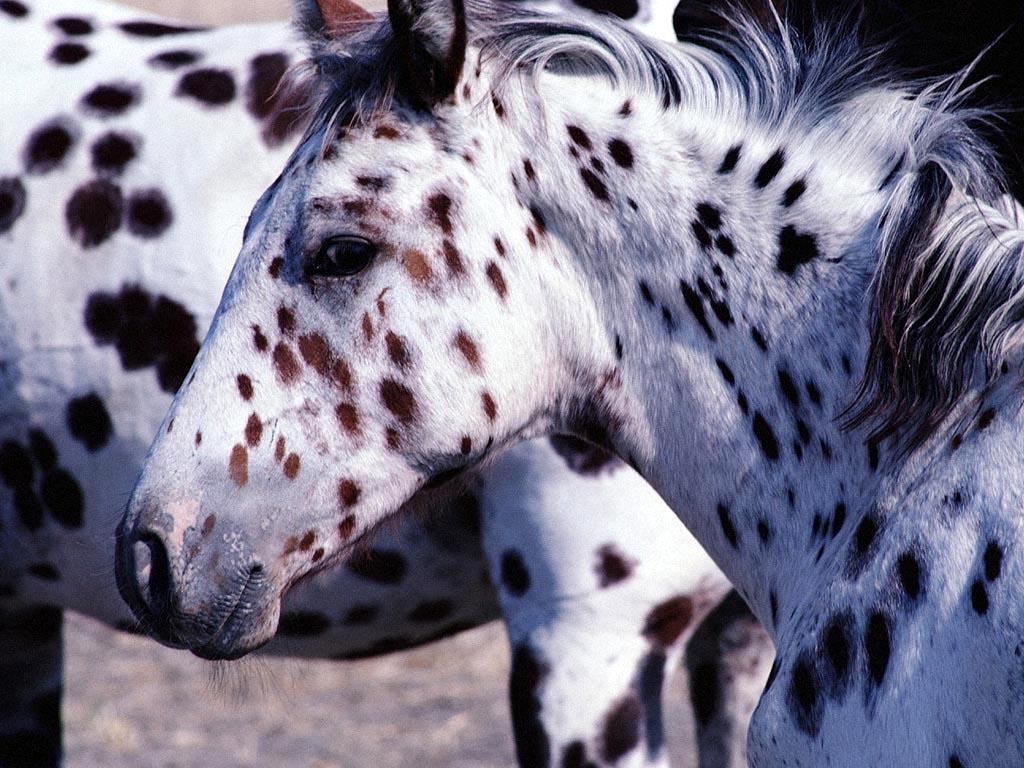 صور حصان عربي (5)