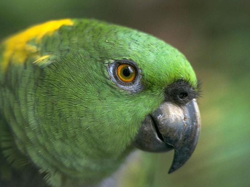صور طيور ببغاء (1)
