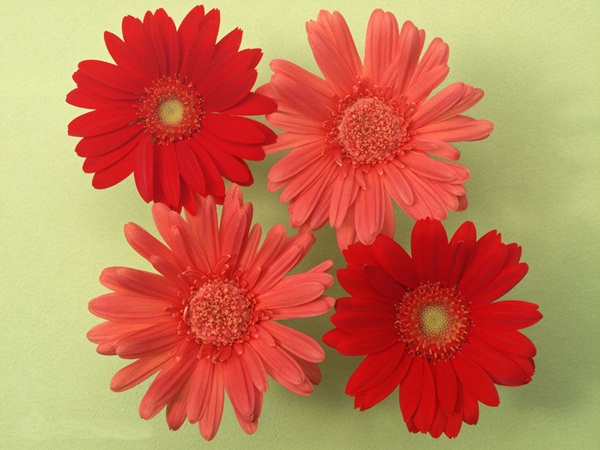 زهور باللون الاحمر (2)
