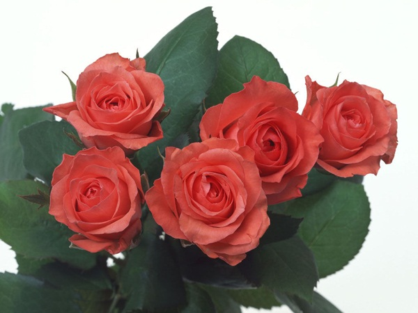 زهور باللون الاحمر (4)