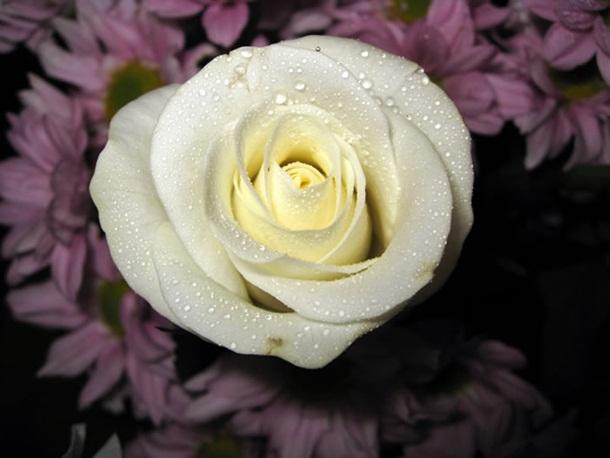 صور ازهار الحب وورود الحب واجمل ازهار الربيع (2)