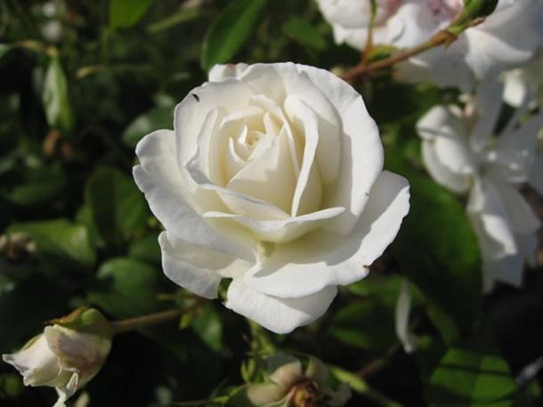 صور ازهار الحب وورود الحب واجمل ازهار الربيع (4)