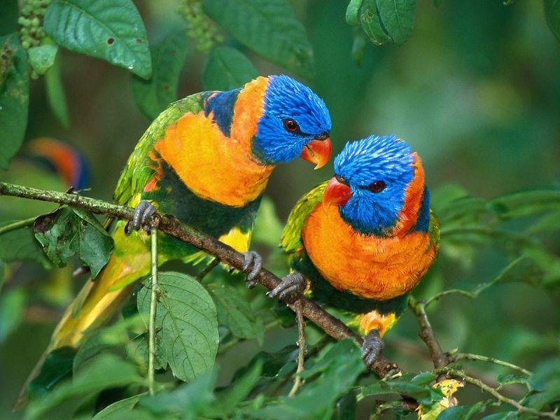 صور البغبغانات الملونة (1)