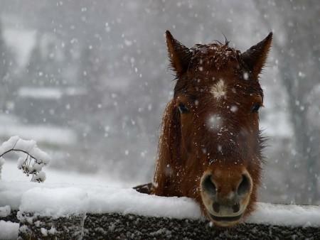 خلفيات فرس عربي اصيل وصور احصنة جميلة (2)