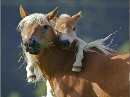 صور احصنة وفرس عربي اصيل بالوان جميلة (4)